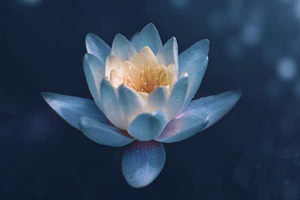 Lotusblüte als Symbol für eine Lomo Lomi Massage.