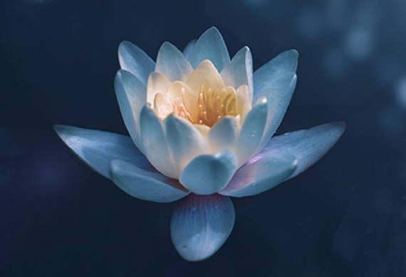 Eine blaue Lotusblüte als Symbol für eine erotische Massage.